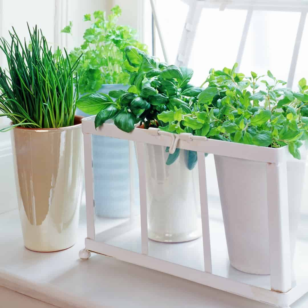 Herbs in containers by a kitchen window Herb Gardening Indoors for Beginners